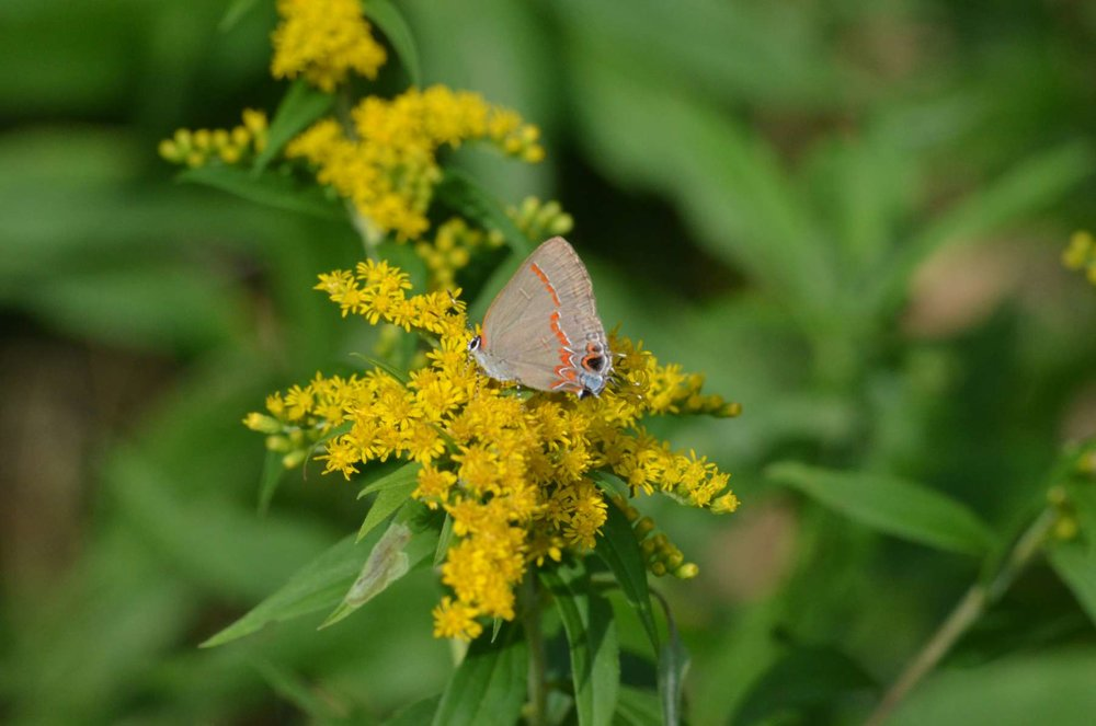 White M Hairstreak Butterfly