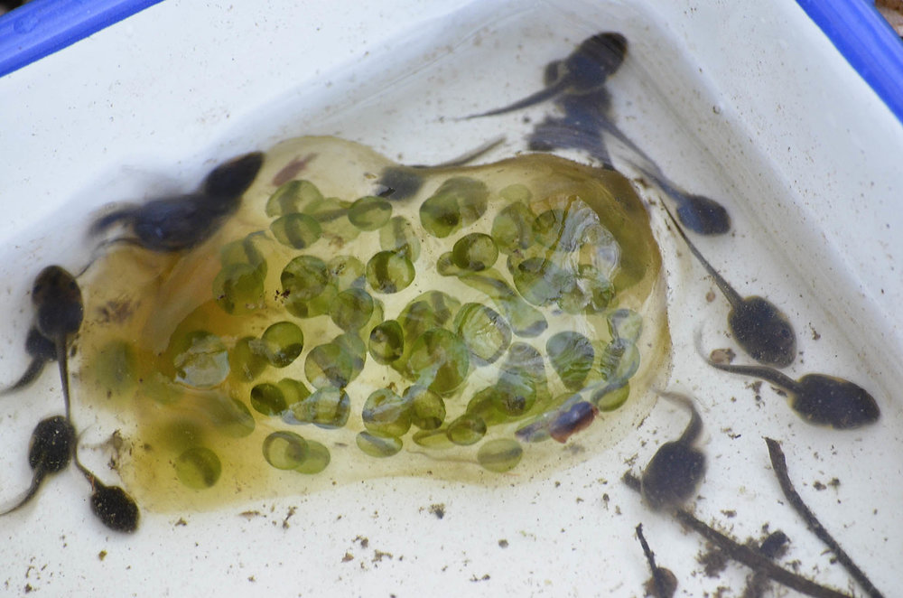 Spotted Salamander Egg Mass surrounded by Wood Frog Tadpoles