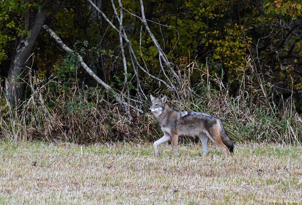 slt coyote b fellman w watermark.jpg