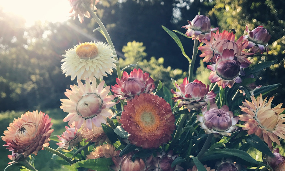 strawflower.jpg