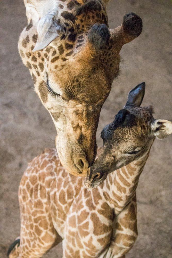 Masai Giraffe calf.