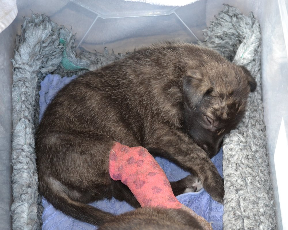 Hope at 4 weeks, after being taken in by the PAWS Team and given clean soft bedding