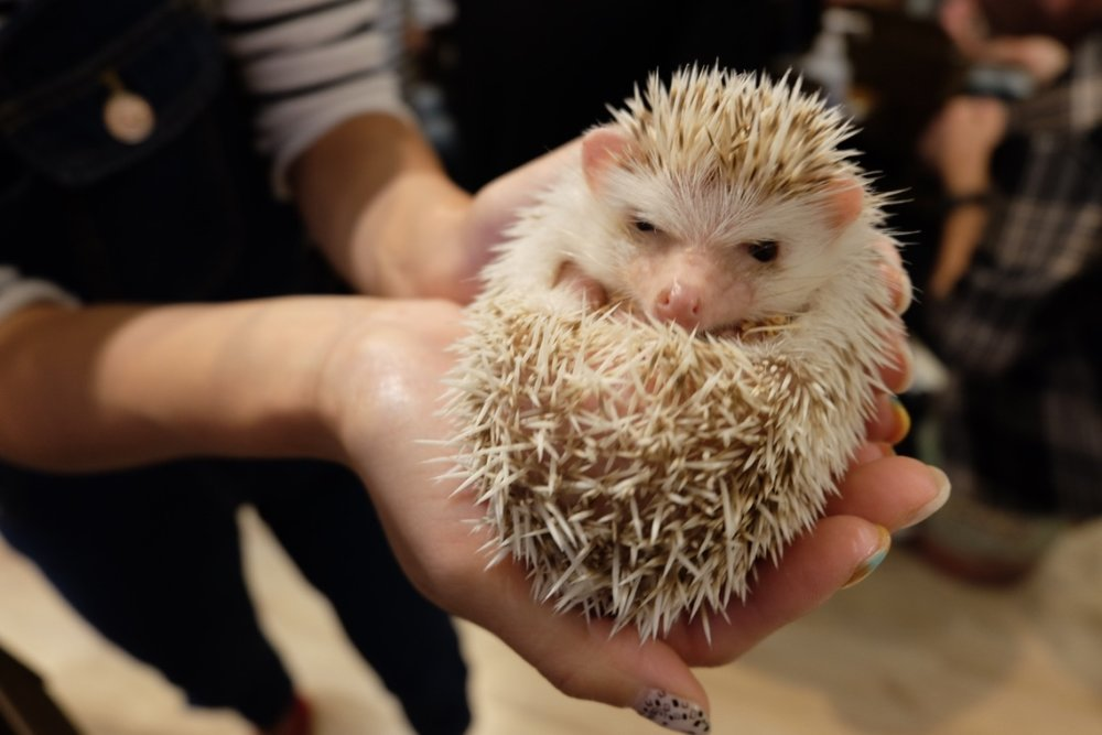 Cuddling hedgehogs at Harrys in Roppongi Hills
