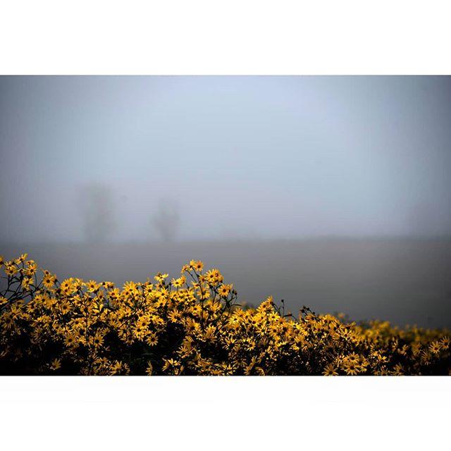 Beheading jerusalem artichokes in the dreamy morning mist. 💛🌻 Down on our moor field.  #linnestadgård #ås #oslo #jerusalemartichoke #organicfarming #økogård #økomat #økologisk #øko #kortreist #norgetrengerbonden #rettfrabonden #høst Photo: @leeanncafferata