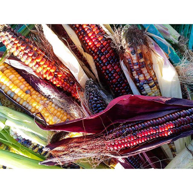 Corn 🌽❤ harvest day. A fantastic family dinner and an exciting Monday delivery for a special client 🍽! #linnestadgård #ås #oslo #økogård #organicfarming #paintedcorn #økomat #økologisk #rettfrabonden #kortreist #norgetrengerbonden #renmat #grønnmat
