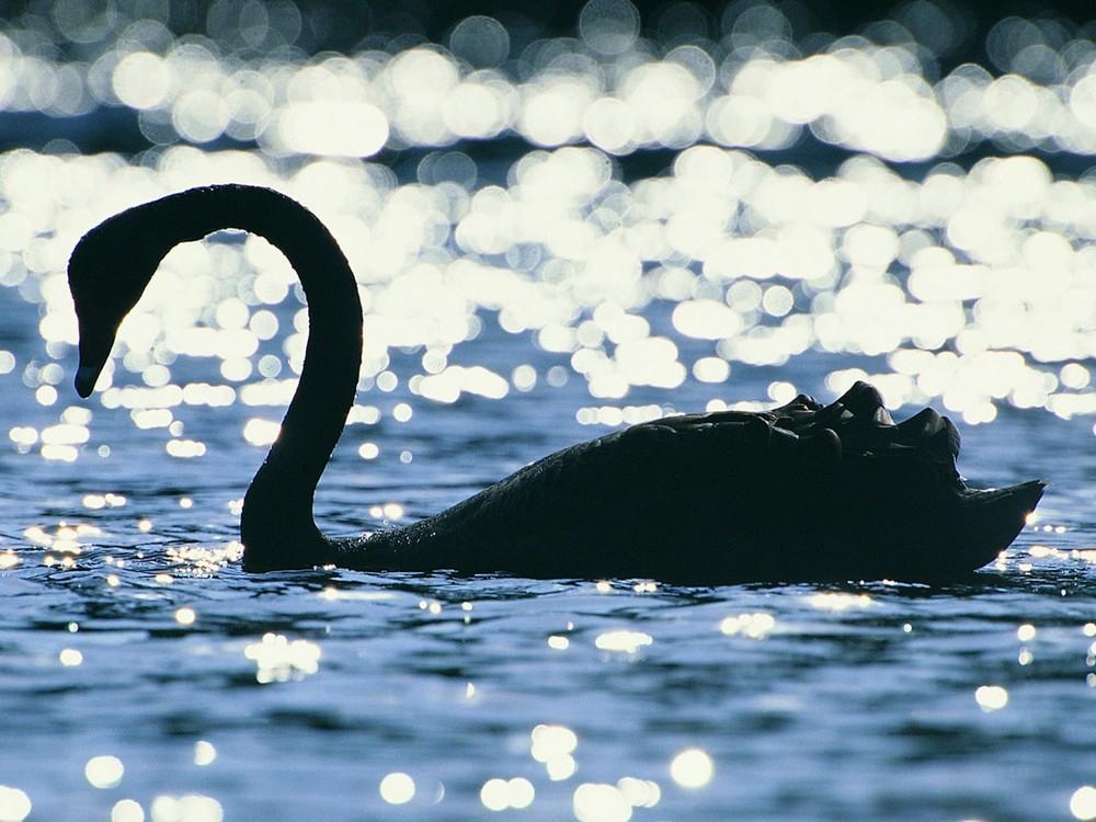 water-birds-silhouette-swans-bokeh-_273180-55