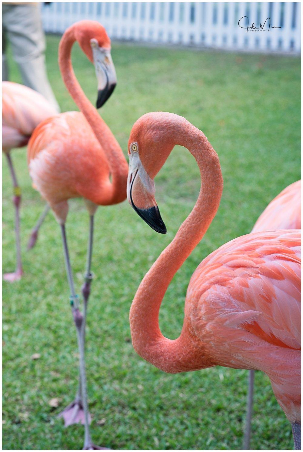 Caribbean flamingos!