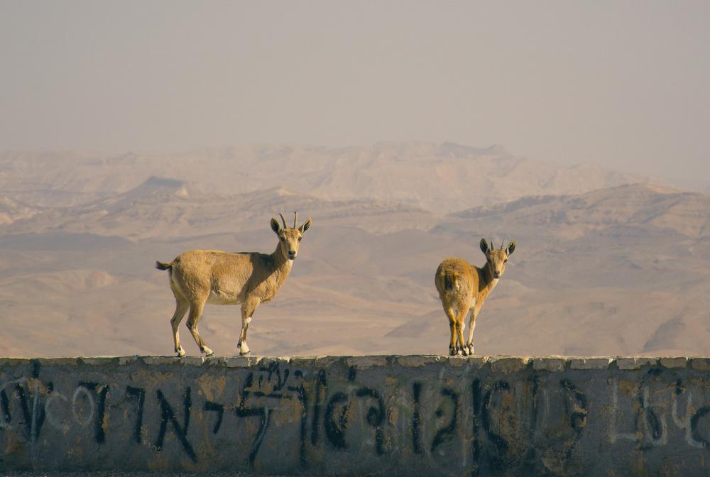 """""""Nubian Ibex,"""" 2014  Elad Matityahu"""