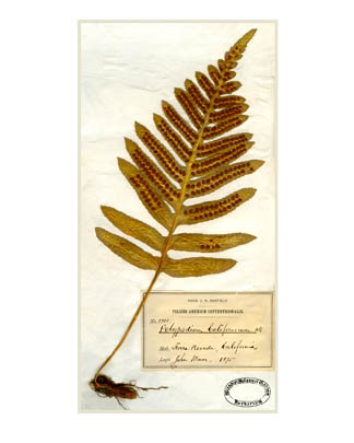 California Polypod fern (Polypodium californicum) [Digitally restored scans of John Muir's original plant specimens]