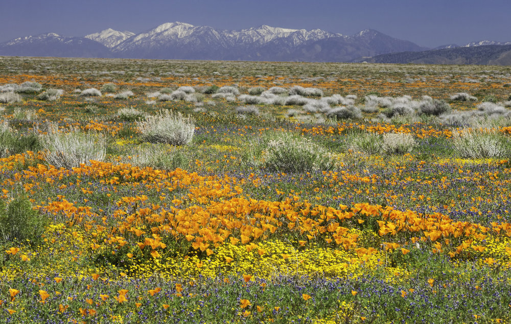 wildflowers & snow mts.jpeg