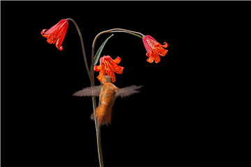 Rufous Hummingbird and Scarlett Fritillary  Photograph by Rob Badger and Nita Winter