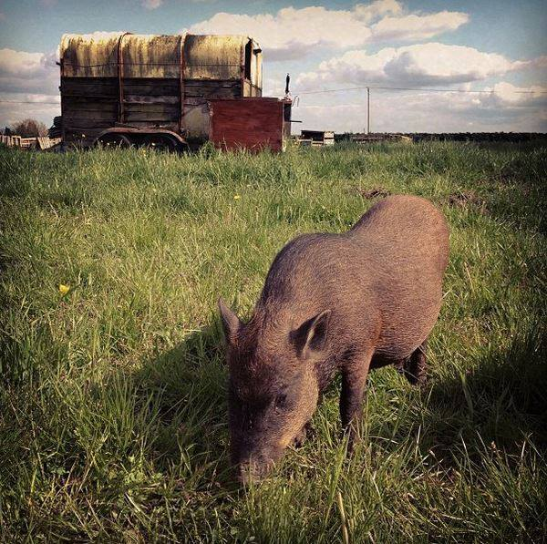 Millie the pig at FRIEND