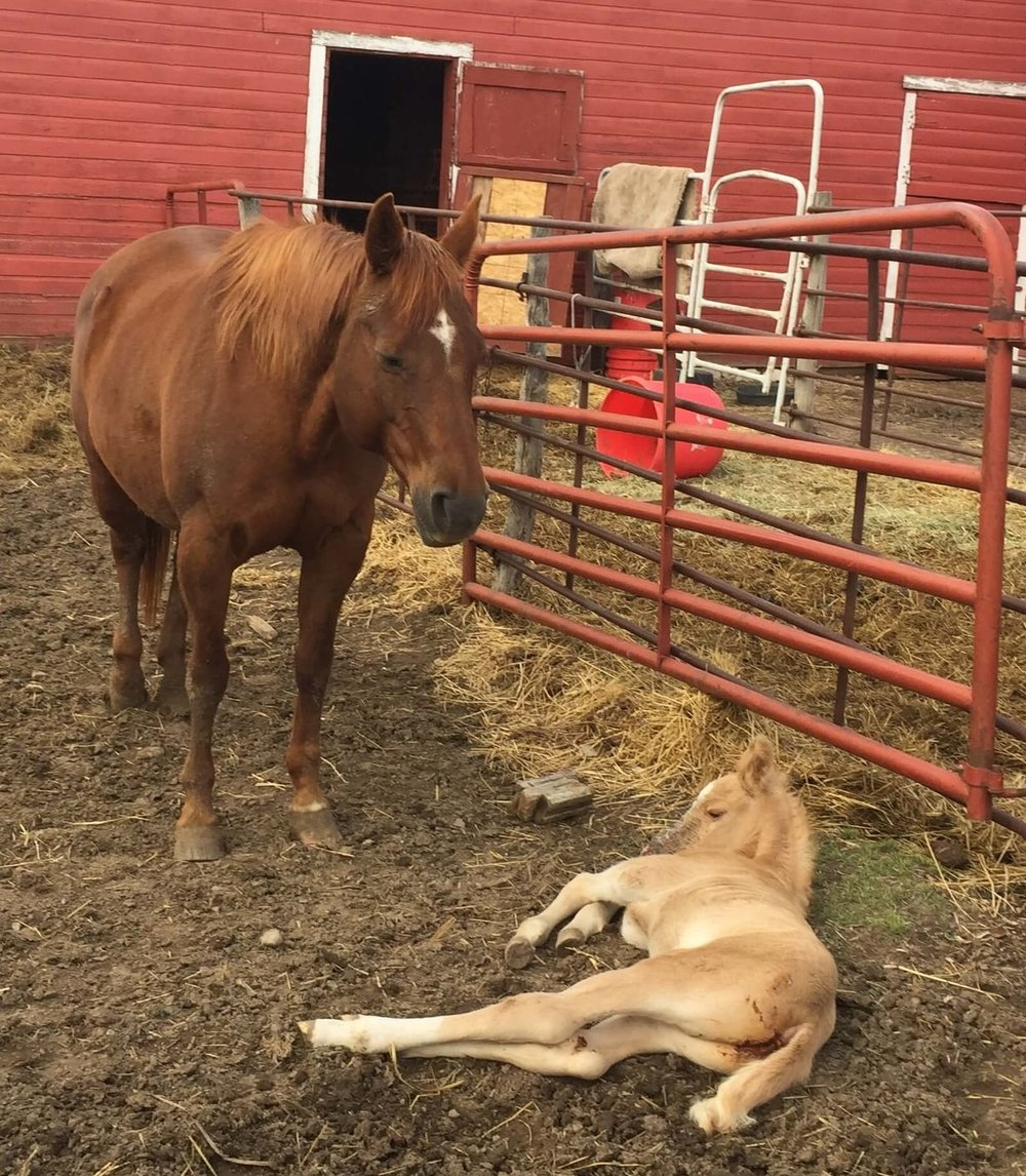 This colt was born in an adjacent barn stall just a few hours before the Lonestar Cowboy Church began its Sunday service!
