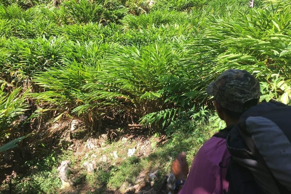 Lorenzo looks over his field of cardamom. These bushes produce a berry used to make perfumes. He and his wife sell this for money to give to the church.