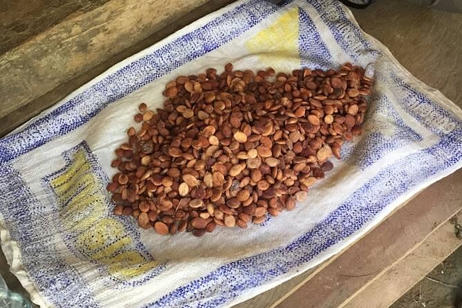 Once the cacao beans dry, they look like this. Then they can be cooked into a drink or mixed with sugar to make what we recognize as chocolate!