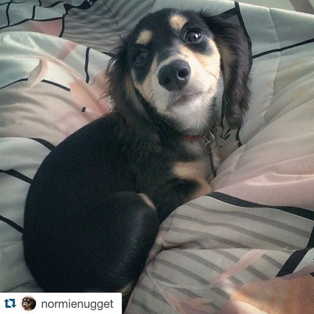 Time to get up! It's almost race day! Thanks for the shoutout @normienugget! Remember to follow and tag us for a feature! #pnw #pdx #pnwonderful #upperleftusa #oregoncoast #rockawaybeach #wienerdog #dachshunddaily #dachshundpics #doxiestuff #weinerdogs #doxiholics #doxieobsessed #dachshundsunlimited #ilovemydog  #dachshundrescue #dachshunddaily #dachshundpics #sausagedogcentral  #dachshundsofinstagram #wienerdog #pet #doxies #weenies #wienerdograces #instacute #doxieig #sausagedogcentral #whoruntheworldWEENS #firecrackernationals #barkbox #tillamook #tillamookcounty