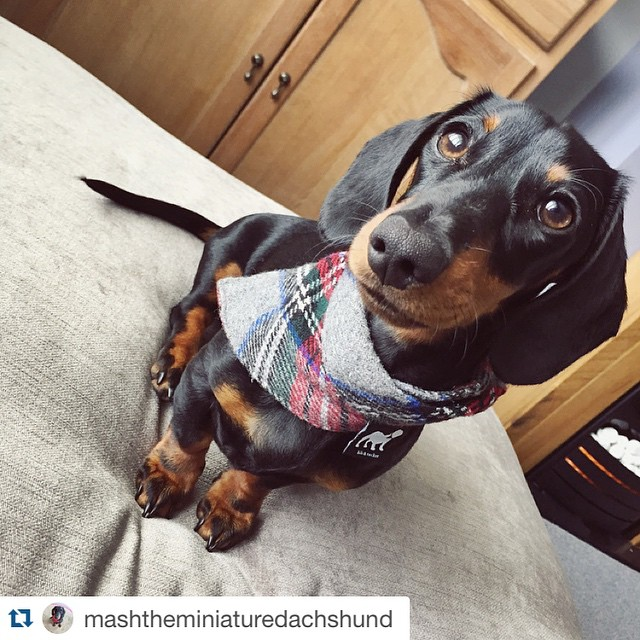 We're a fan of this sporty look too! Whether you come formal or casual, we can't wait to see you on Saturday! Thanks for the shoutout @mashtheminiaturedachshund! Remember to tag and follow us for a feature! #pnw #pdx #pnwonderful #upperleftusa #oregoncoast #rockawaybeach #wienerdog #dachshunddaily #dachshundpics #doxiestuff #weinerdogs #doxiholics #doxieobsessed #dachshundsunlimited #ilovemydog  #dachshundrescue #dachshunddaily #dachshundpics #sausagedogcentral  #dachshundsofinstagram #wienerdog #pet #doxies #weenies #wienerdograces #instacute #doxieig #sausagedogcentral #whoruntheworldWEENS #firecrackernationals #barkbox #tillamook #tillamookcounty