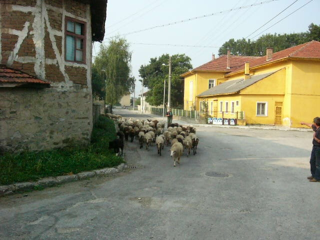 26-Sheep at our corner.JPG