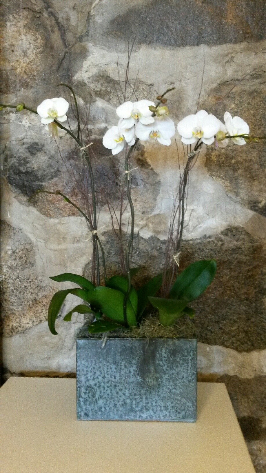 E11   $200 Triple stem orchid plant