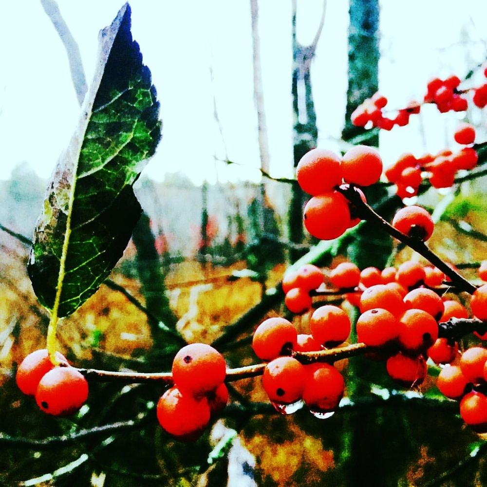 Winter Berries in the Swamp
