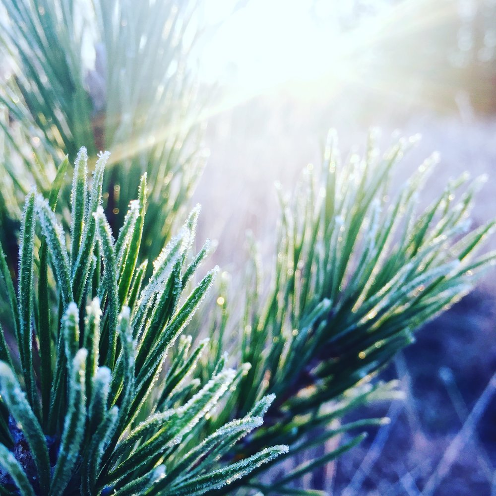 Evergreens in Frost - First Sunday of Advent