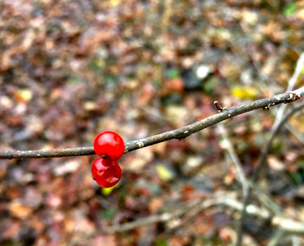 Berries in November, Charles River Woods, Photo by Franci DuMar