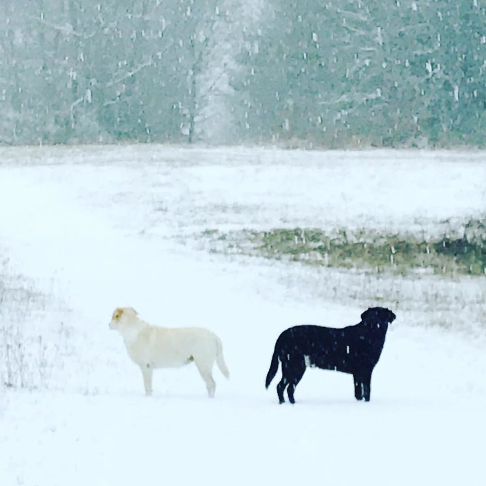 Two labs diverge in snowy meadow