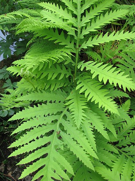 Sensitive Fern  Image Source: Wikipedia https://en.wikipedia.org/wiki/Onoclea_sensibilis
