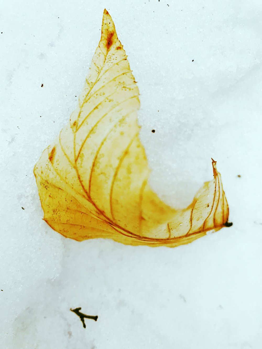 Beech Leaf on Snow