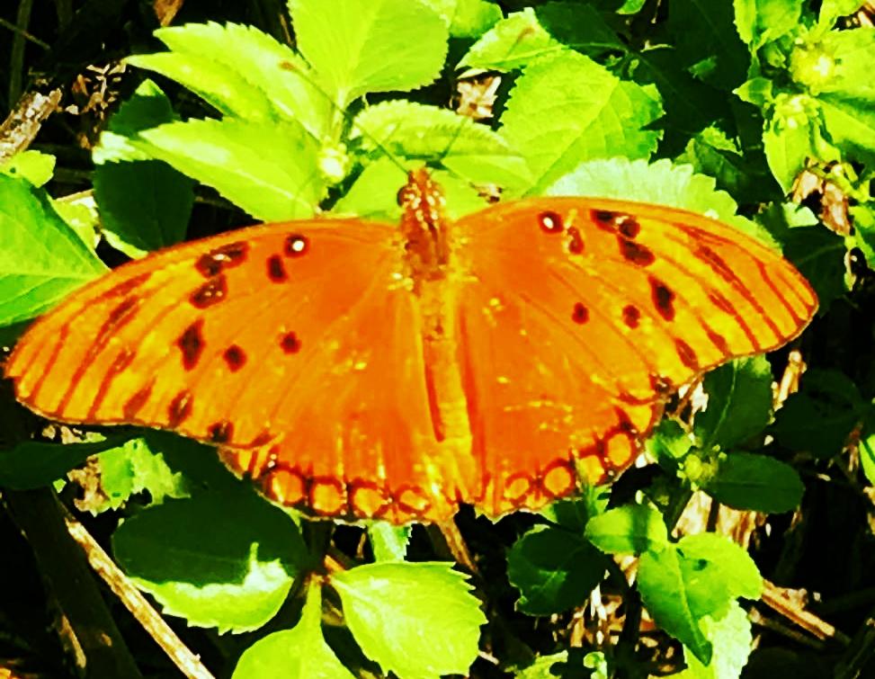 Butterfly, Grande Terre Guadaloupe