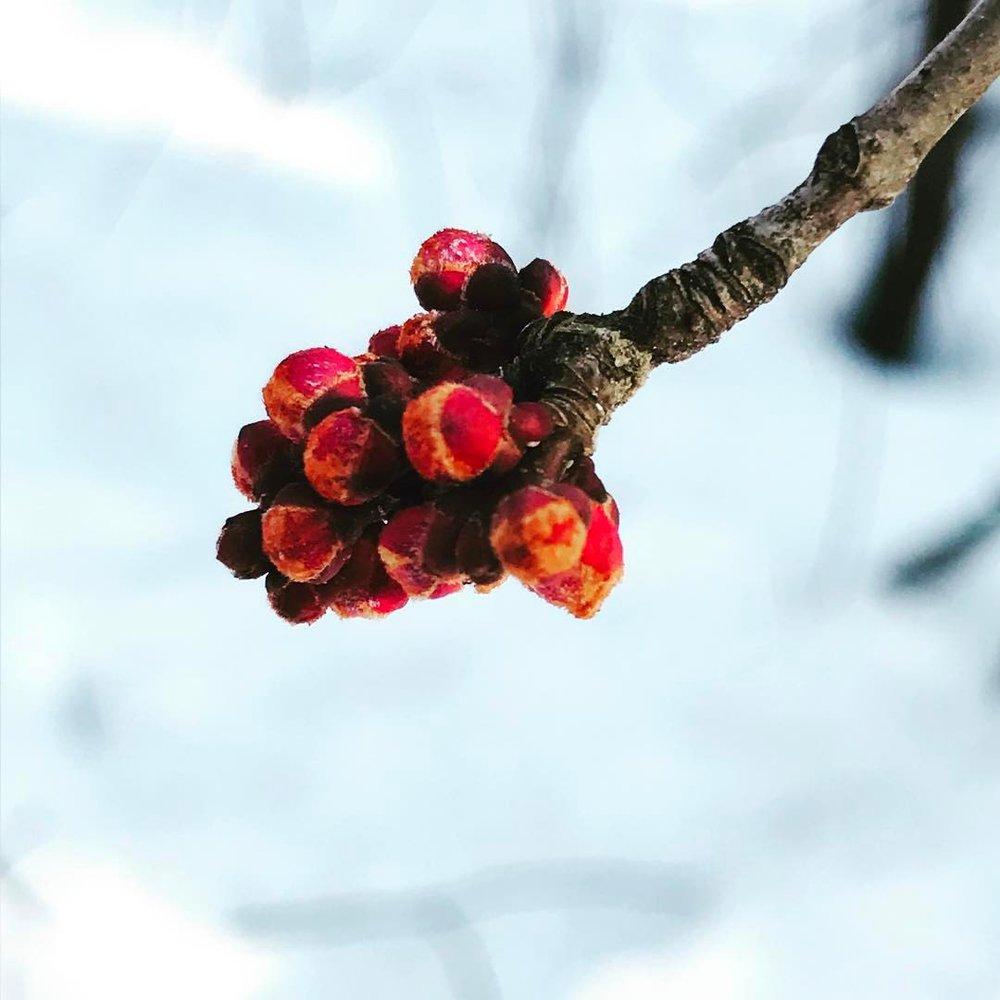 Branch bud.jpg