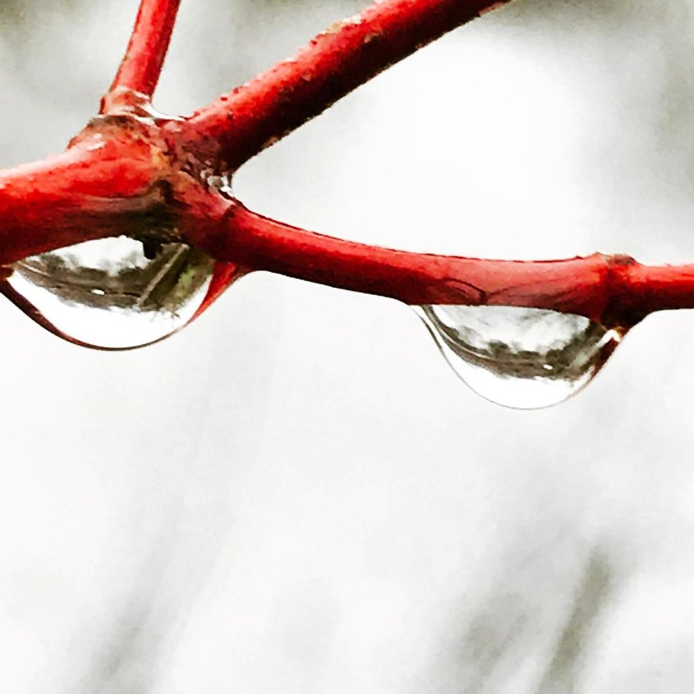 willow raindrop.jpg