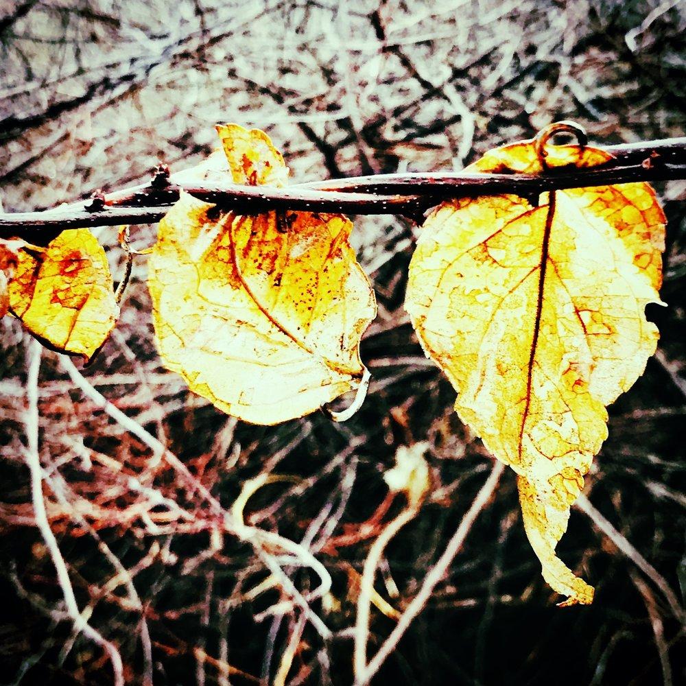 Three Leaves on a Vine