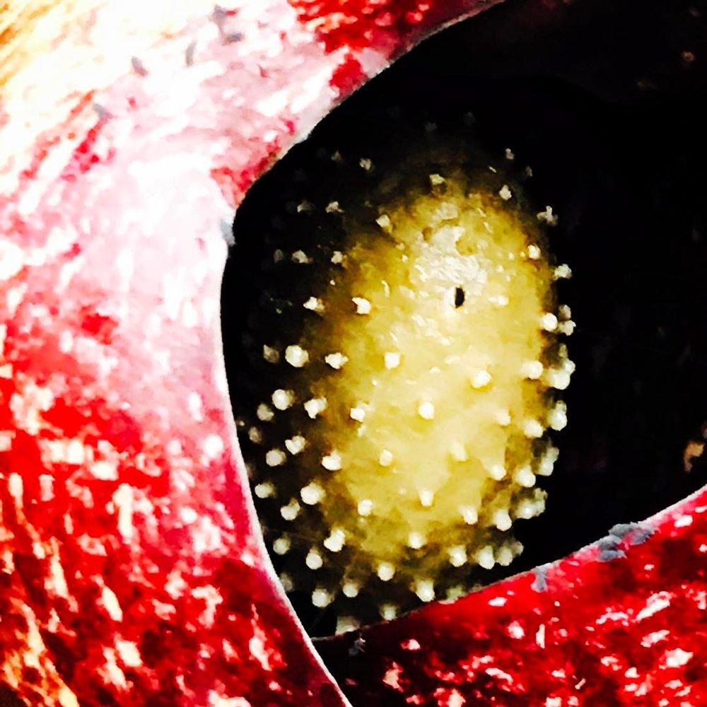 skunk cabbage seed.jpg