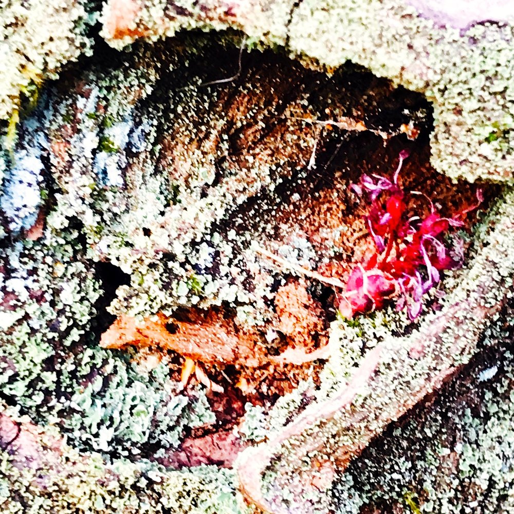 Rotting Tree, Red Maple Bud