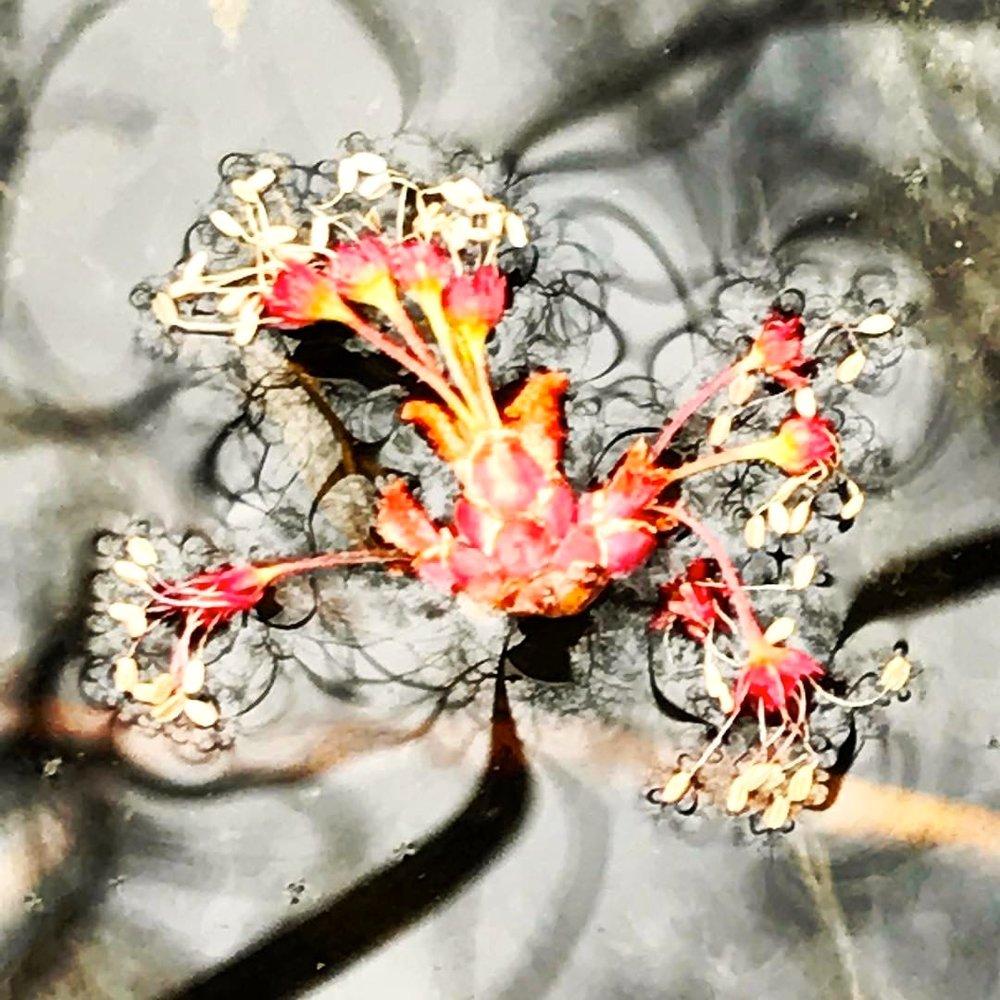 blossom on water.jpg