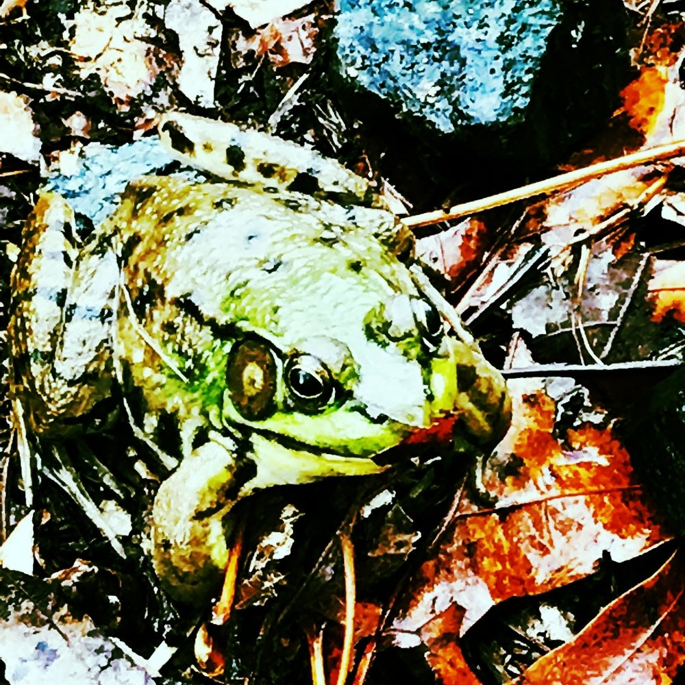 Green frog  ( Lithobates clamitans melanotus )  These very common frogs are found throughout Massachusetts where they breed in ponds, marshes, and river backwaters and side-channels. Their calls are short, explosive banjo-plucks, sometimes linked together like a series of echoes. Listen for them in mid to late spring.http://massnaamp.org/calling_amphibians.html