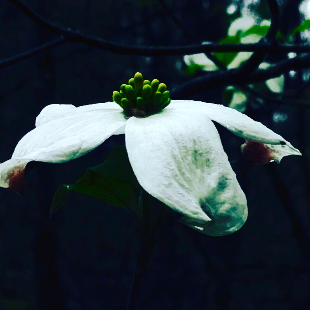 Dogwood Blossom, Charles River Woods, Rocky Narrows