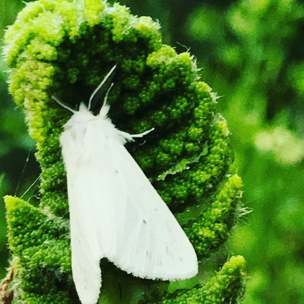 moth fern.JPG