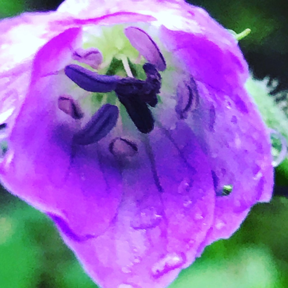 Wild Geranium After Rain
