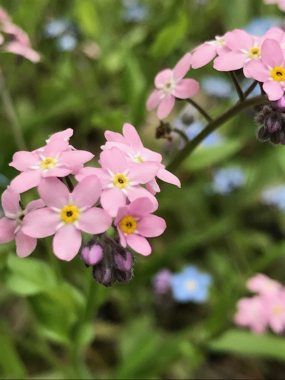pink forget me ots.JPG