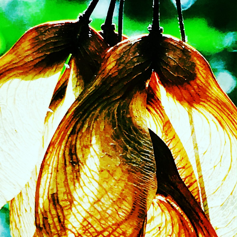 Red Maple Wings, June-Dried