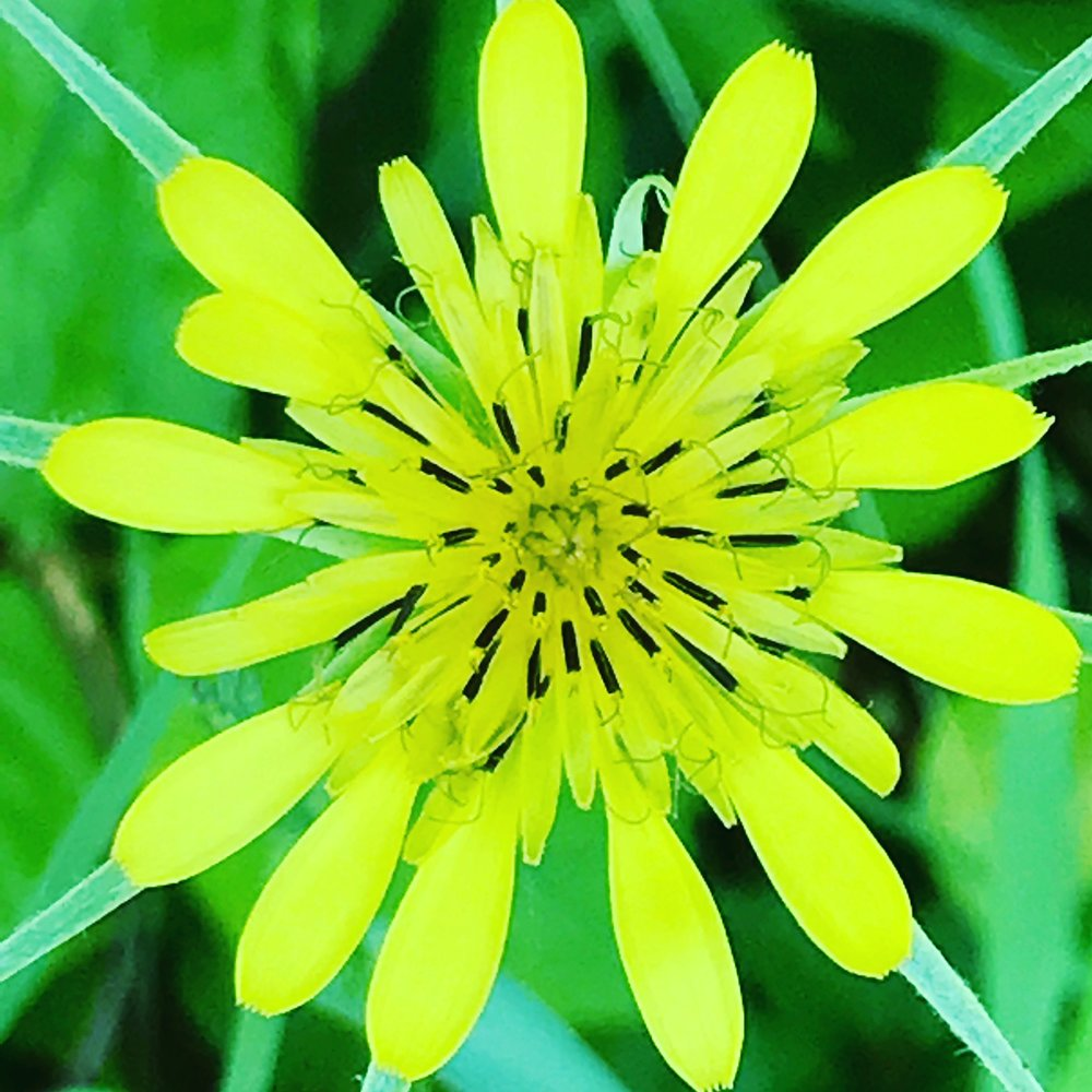 Yellow Goatsbeard,Yellow Salsify,Western Salsify, Wild Oysterplant - Tragopogon dubius