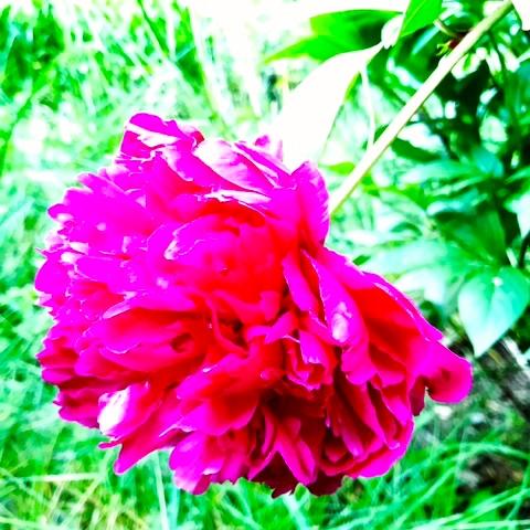 My garden, my peony