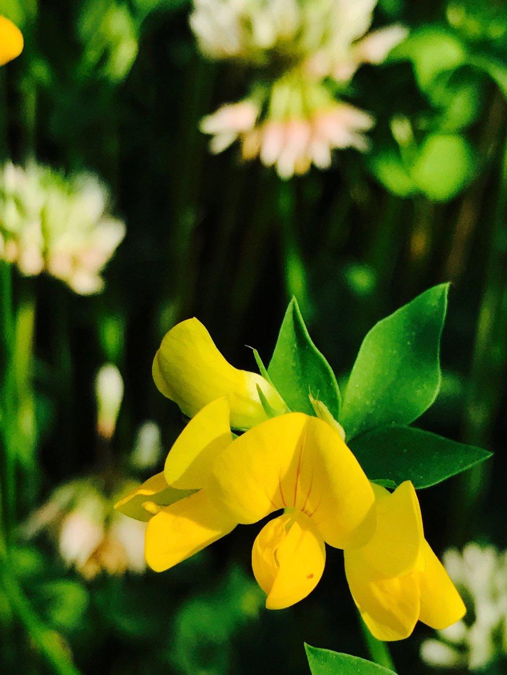 butter clover.jpg