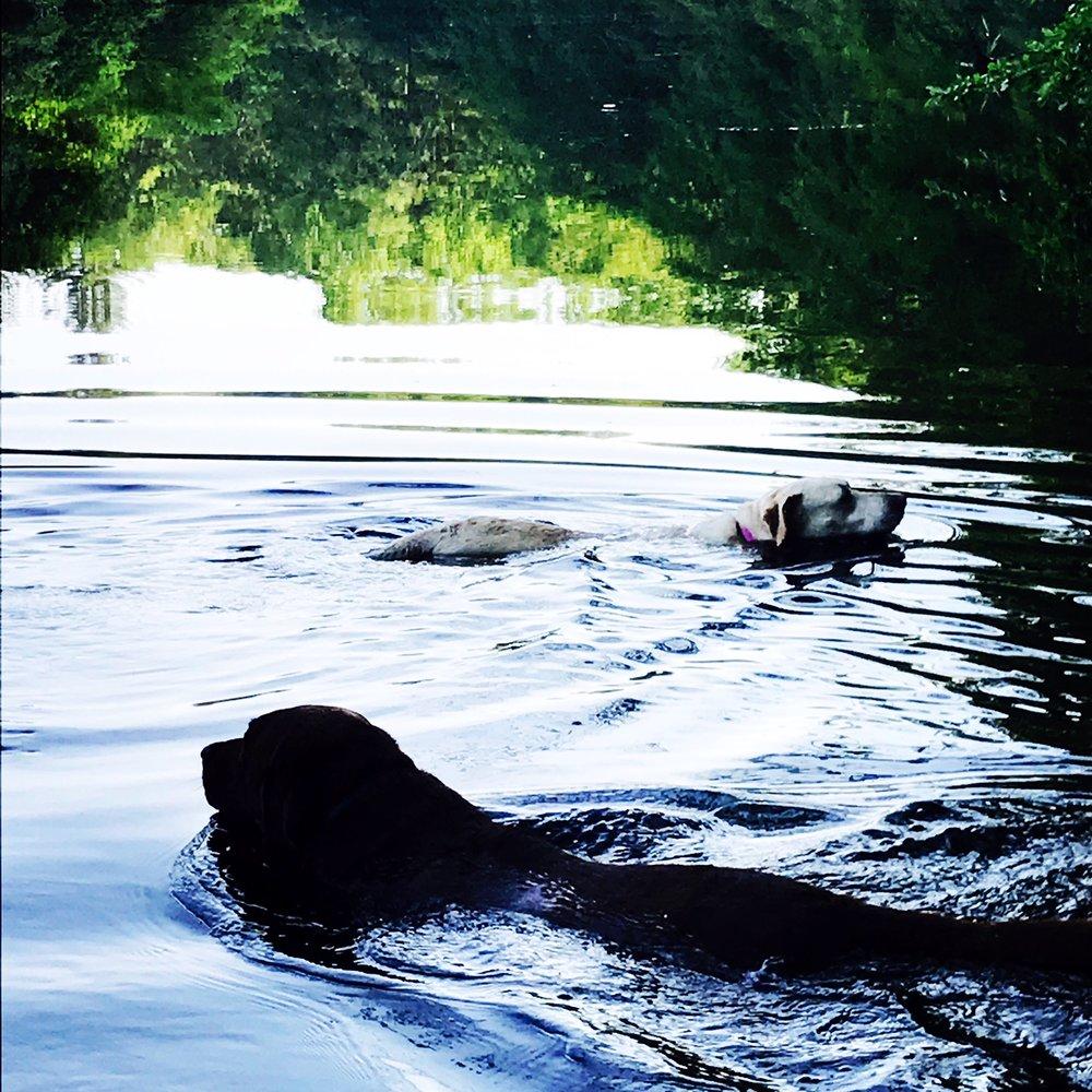 dogs swimming.JPG