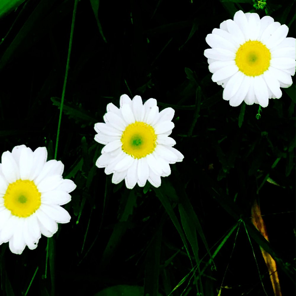 Three Daisies in the Meadow