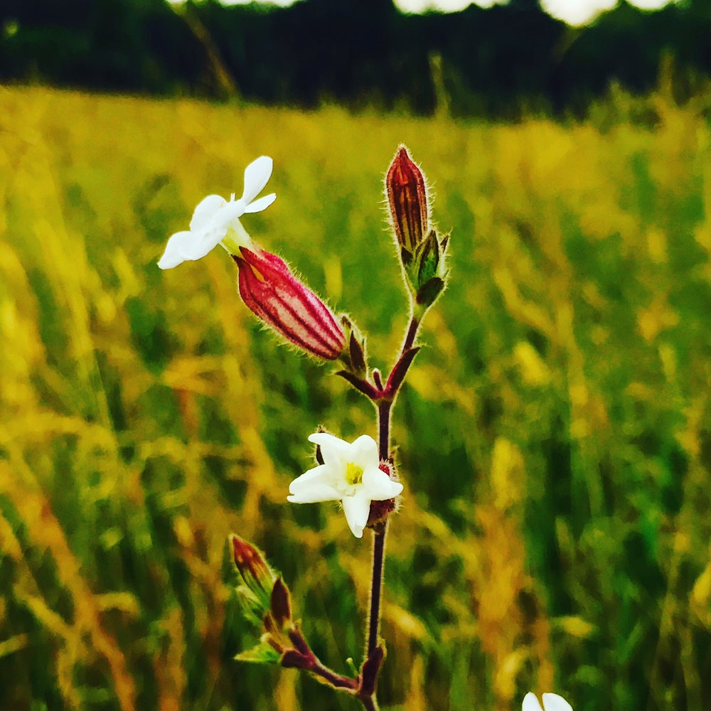 White Campion in the Meadow