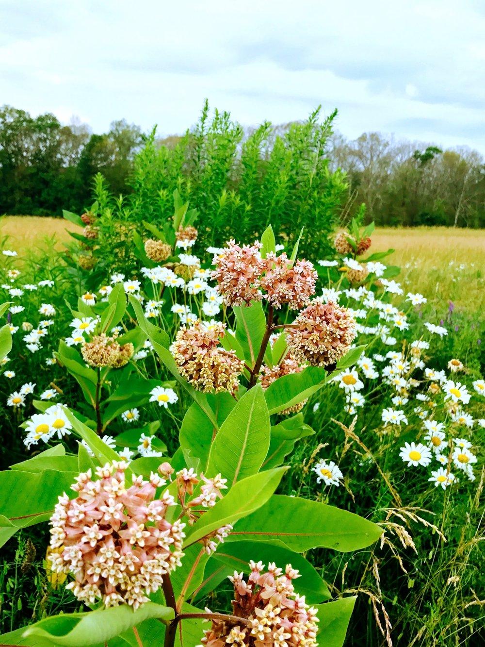 Milkweed & Daisies in the Meadow