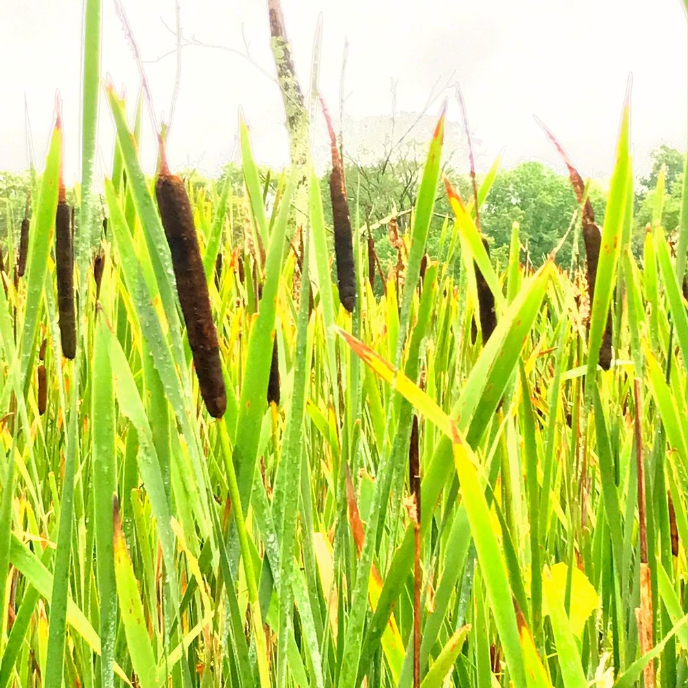 cattails.JPG